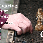 Getting spring bulbs in at The Gower